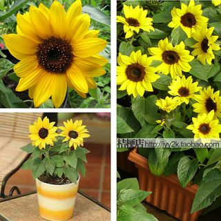 Flower seeds Potted plant seeds Dwarf sunflower Seeds, indoor plants flowers new arrival DIY Home Garden flower plant 30pcs T04(China (Mainland))
