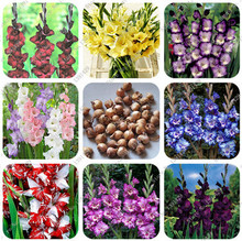 Buy 5 True Gladiolus Bulbs, (not seeds) Perennial Flower Bulbs Rare Sword Lily Aerobic Potted Plant Bonsai Garden Balcony Decoration for $1.16 in AliExpress store