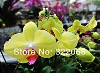 цветок Орхидея бабочка xr-93 100pcs/lot семена искусственный фаленопсис