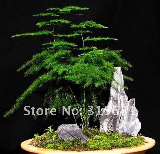 buy free shiping asparagus fern