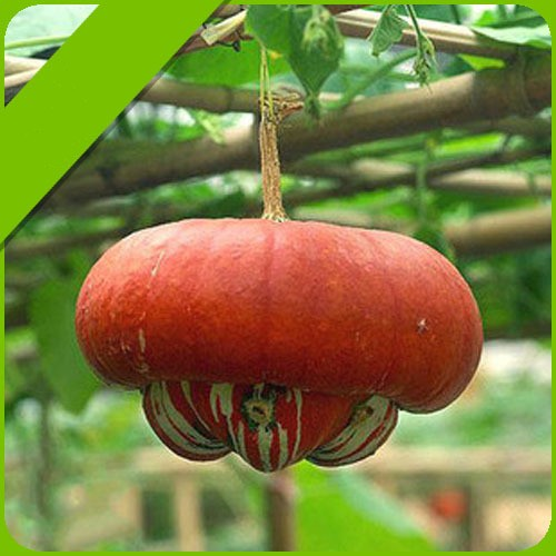 5 Seeds/pack Pumpkin Seeds vegetables seed free shipping(China (Mainland))