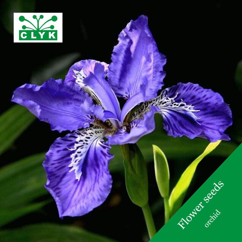 Acquista all 39 ingrosso online blu semi di orchidea da for Semi orchidea