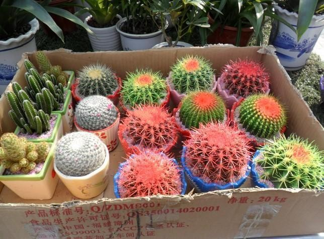 Celestial seeds - cactus potted plant family anti-radiation 30 seeds/pack Wu Haimei's store