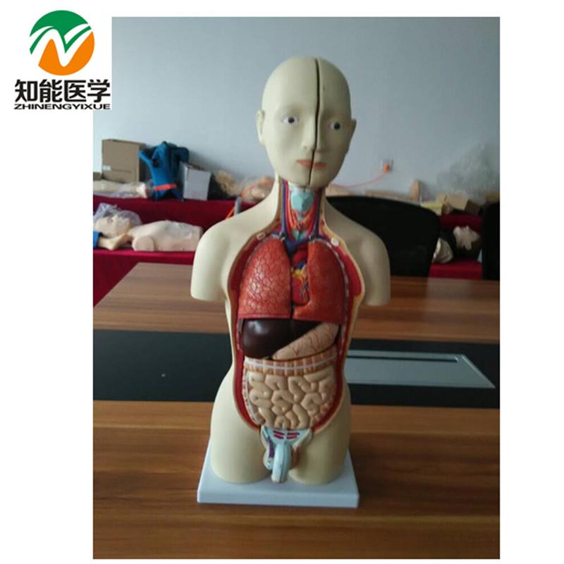 Half-body male torso mannequin (13 parts)42cm BIX-A1037(China (Mainland))